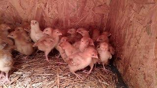 Kupiłem kurczaki !