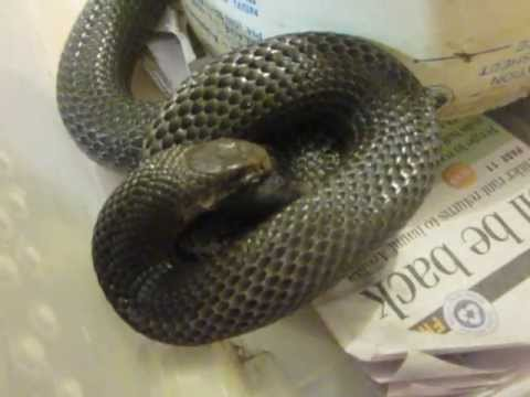 Venomoid snake