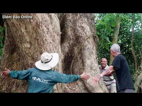 Khám phá cây Sưa 400 Tuổi lớn nhất Việt Nam mà ít ai biết đến