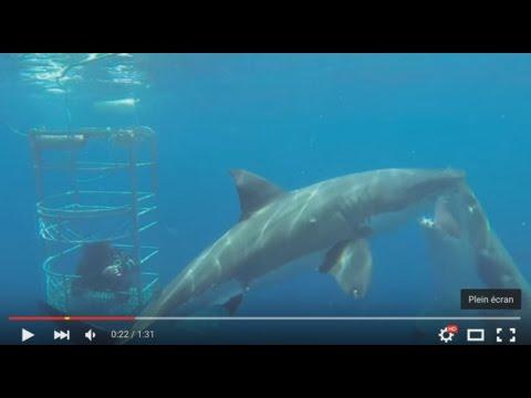 Un requin blanc attaque un autre grand blanc lors d'une plongée en cage