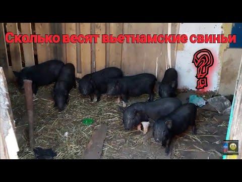 Сколько весят вьетнамские вислобрюхие свиньи???