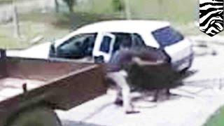 Tylko w Rosji: mężczyzna kradnie krowę wpychając ją do samochodu osobowego!