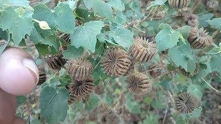 ఈ చెట్టు కనిపిస్తే వేర్లను కూడా వదలకండి || Athibala Chettu upayogalu in Telugu || Athibala