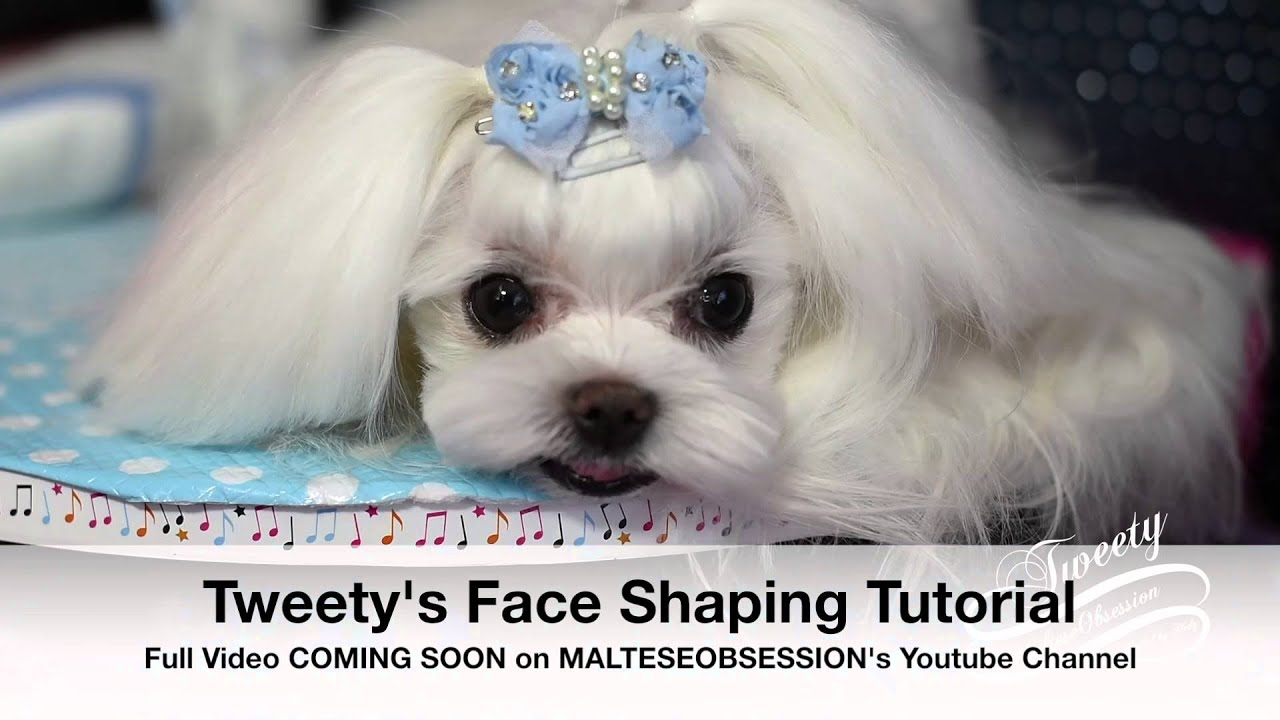 GROOMING TRAILER Tweety Maltese Korean Style Face Maltese ...