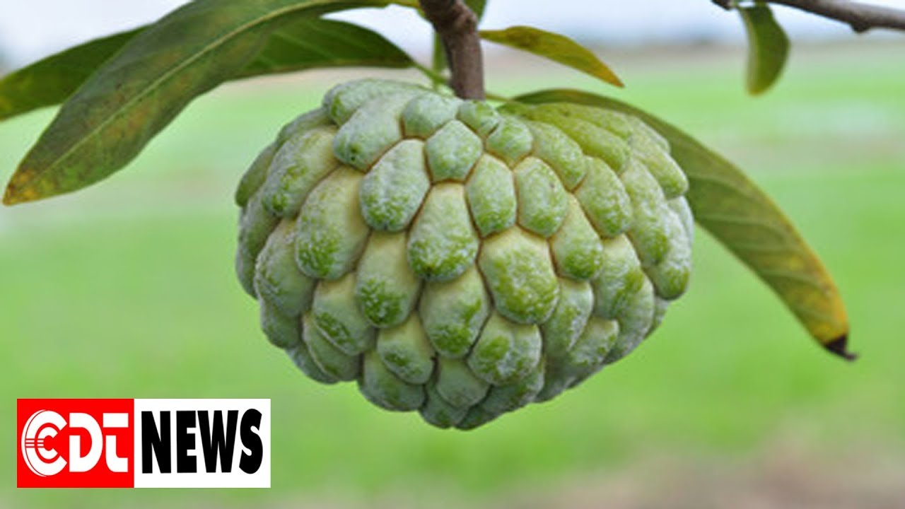 15 Health Benefits of Atis Fru...