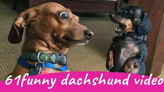 61 Funny Dachshund Dogs Videos Instagram, Funny And Cute Dachshund Dog Try Not laugh Videos