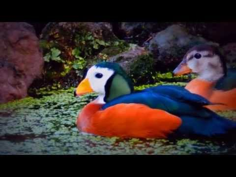 African pygmy geese in full colour HD