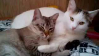 Белая кошка и серый кот. Мур-мур-мур)))