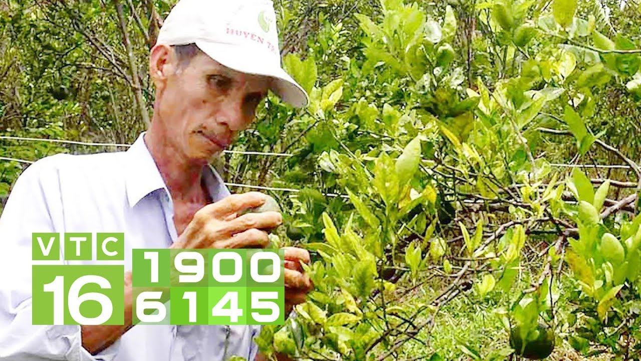 Giải pháp cho bệnh vàng lá, thối rễ trên cây có múi | VTC16