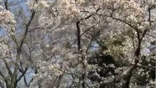 源氏山公園全体では意外と桜は少ない。鎌倉名物のタブノキが目立つが、...
