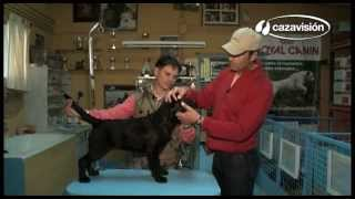 Elección De Un Labrador Retriever Ii