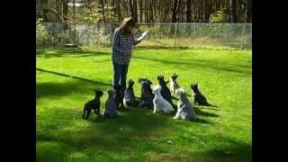 Schnauzer Dog Training Exercise