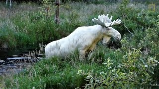 罕見影片:如夢似幻的雪白駝鹿《國家地理》雜誌