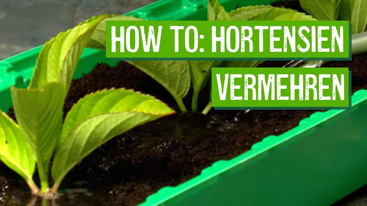 Hortensien Aus Stecklingen Vermehren Der Grune Tipp Youtube