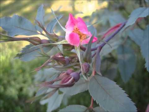 Orjanruusu