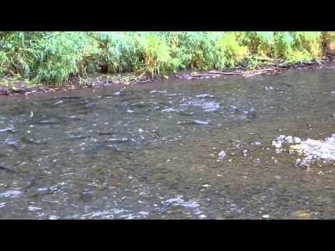Salmon Running the Gauntlet in Eagle Creek Trailhead Oregon