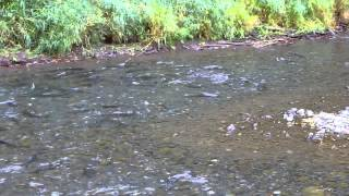 Salmon Running the Gauntlet in Eagle Creek Trailhead Oregon