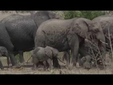 The Elephant Walk Song