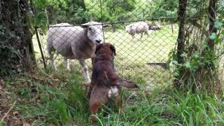 Chewie Le Border Terrier Et Le Mouton Belliqueux