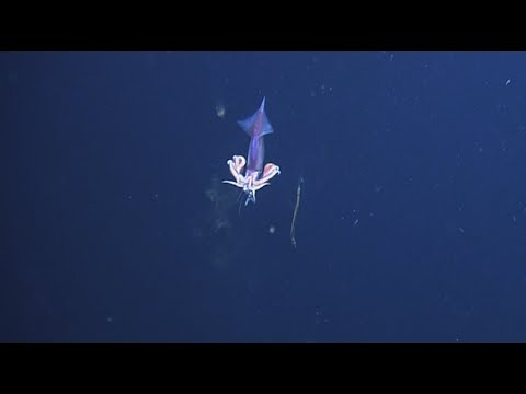 Deep Sea Predation: Squid Eats Fish | Nautilus Live