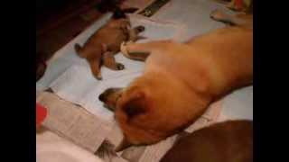次郎は甘えん坊。いつも夜中まで起きて母犬すずに甘えていました。