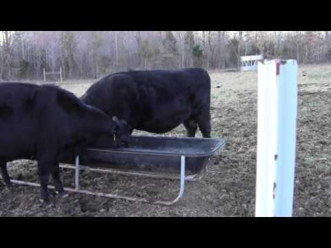 Signs of calving in cattle - Basic