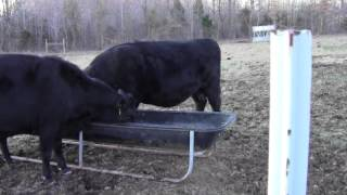 Signs of calving in cattle - Basic Video