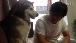 Teaching Alaskan Malamute Not To Fight With Other Dogs