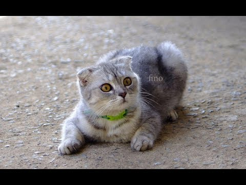 The old cat, She was killed by the dog | Scottish Fold Cat breed