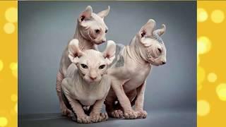 Самые дорогие породы кошек - фото и цена