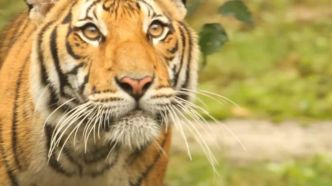 tiger - photo #43
