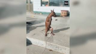 Dog born without forelimbs gets automated wheels