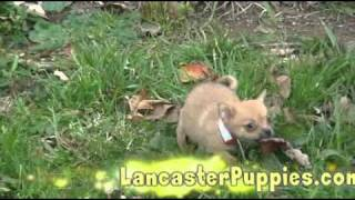 Pomchi Puppies For Sale! (pomeranian Chihuahua Cross)