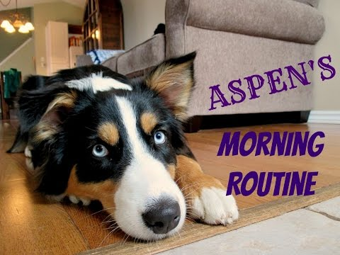 Aspen's Morning Routine - Australian Shepherd