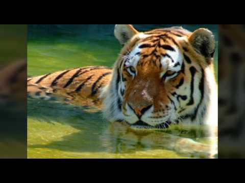 Картинки волков и тигров