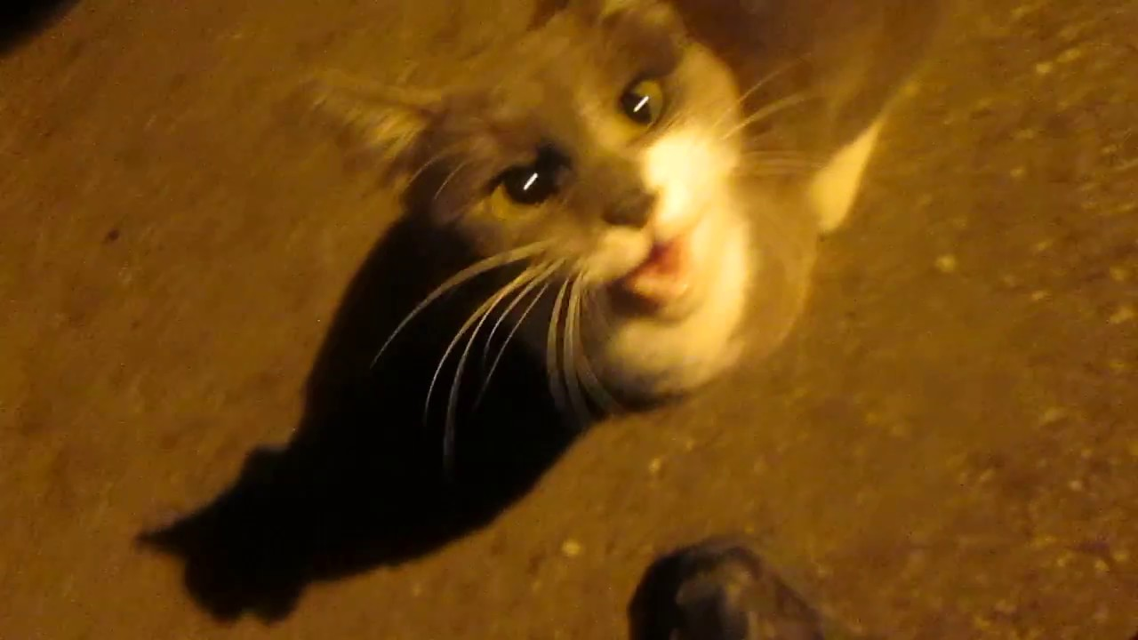The cat yells at night: what to do, reasons 22