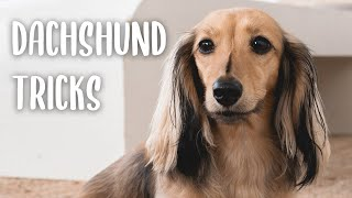 Miniature Dachshund Tricks: All the tricks my dog knows how to do!