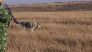 Охота на перепела с хаски(, 2014-09-28T18:50:56.000Z)