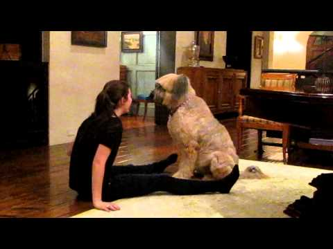 Elle the 90lb briard playing with Sophie  4