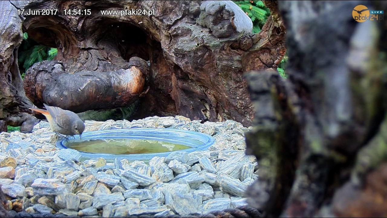 Kąpiel Kopciuszka w poidełku dla ptaków w pniu wiązu