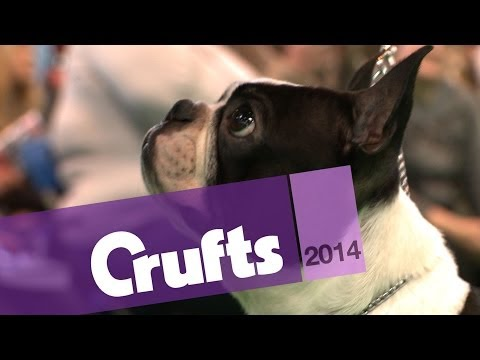 Boston Terrier | Best of Breed | Crufts 2014