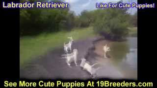 Labrador Retriever, Puppies, For, Sale, In, Baton Rouge, Louisiana, La, Minden, West Monroe, Luling,
