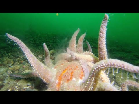 Cheeky Starfish Mating
