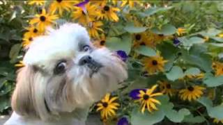 Shih Tzu - Dog Breed