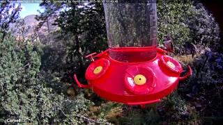 Acorn Woodpecker Visits Feeder, October 30, 2015