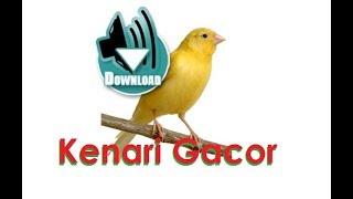 Download suara burung kenari standar gacor dengan jeda untuk masteran bakalan juara