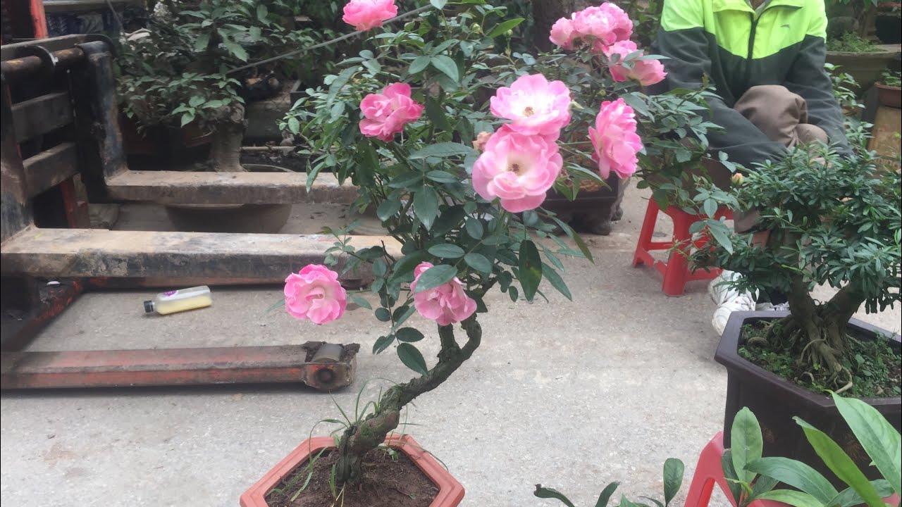 Hoa Hồng Bonsai đẹp 500k Rẻ Cac Bac Nhỉ