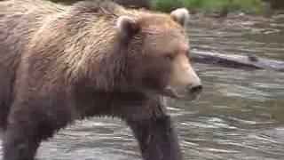Кормежка медведя рыбой
