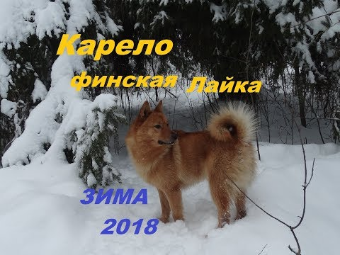 видео: Карело финская лайка. Снег. Зимняя прогулка 2018.