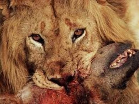 Bear vs lion Fight to Death || Bear vs lion 2017 Real Fight Caught ...